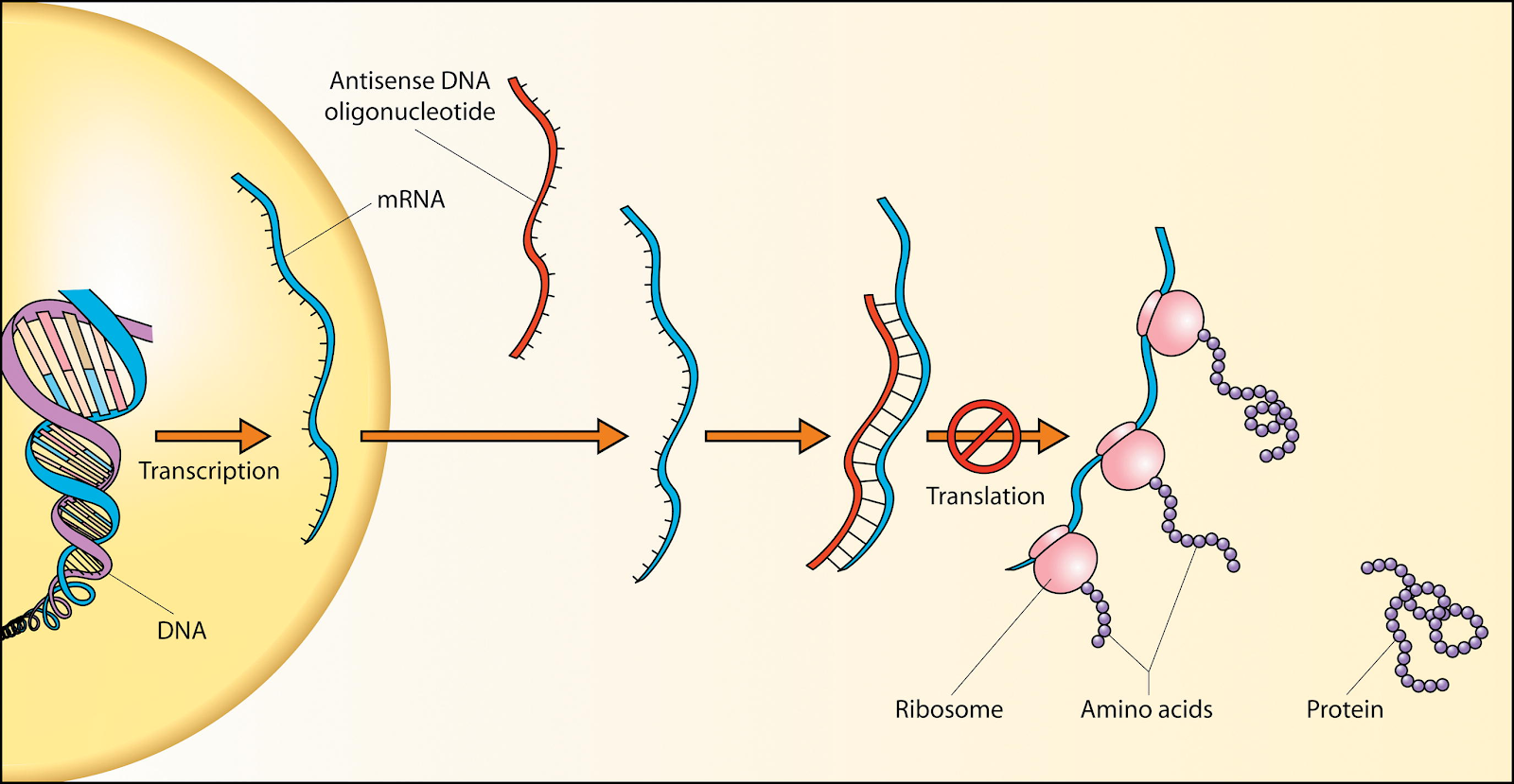 Genetic Interceptions Rna Therapy Antisense Oligonucleotides And How They Are The Future For Huntington S Disease Treatment Hippocrates Med Review